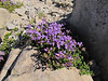 Penstemon davidsonii var. davidsonii (Near the Watchman 2442m, Crater Lake National Park, Oregon)