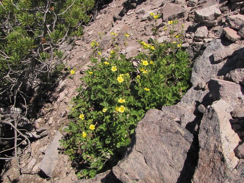 Potentilla glandulosa, Mount Scot 2721m) highest point in Crater Lake National Park