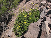 Potentilla glandulosa, Mount Scot 2721m) highest point in Crater Lake National Park