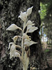 Eburophyton austinae, Phantom Orchid (Big Tree Trail, Oregon Caves National Monument)