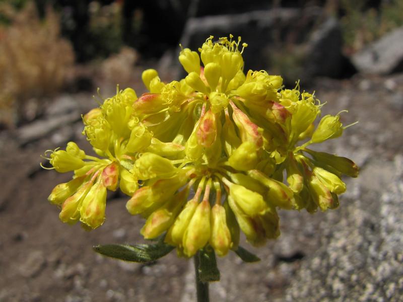 Eriogonum spec , Mount Elijah 1929m, Oregon Caves National Monument)
