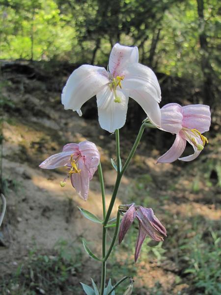 Lilium washingtonianum (near Oregon Caves National Monument)