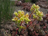 Sedum oregonense? (between Bigelow Lake and  Mount Elijah 1929m, Oregon Caves National Monument)