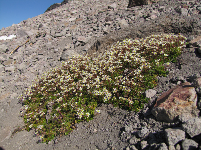 Saxifraga tolmiei (near The Watchman, Crater Lake National Park)