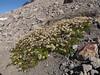 Saxifraga tolmiei (near The Watchman, Crater Lake National Park)