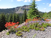 Castilleja spec. (Along Caldera Road, just before junction to Lost Creek Campground, Crater Lake National Park, Oregon)