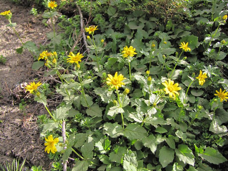 Arnica latifolia ? (Mountaineer Trail, Mount Hood, Oregon)