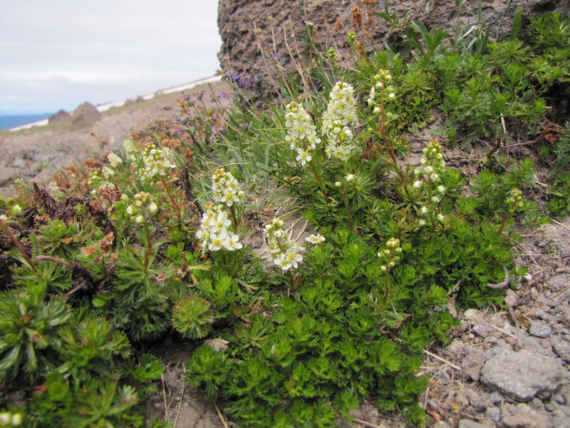 Luetkea pectinata (Mountaineer Trail, Mount Hood, Oregon)