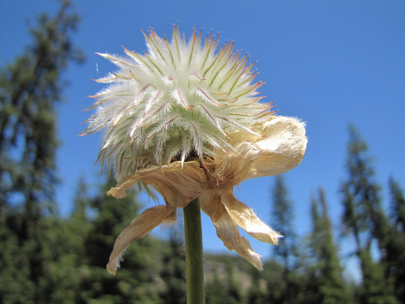 Anemone occidentalis in seed (between Lost Creek Campground and Caldera Road, just before junction, Crater Lake National Park, Oregon)