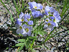 Polemonium californicum (road to Timberline Lodge, from road 26, Mount Hood, Oregon)