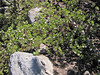 Arctostaphyllos uva-ursi, descent of Mount Scot
