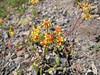 Eriogonum umbellatum? (between North Entrance and Caldera Rim of Crater Lake National Park)