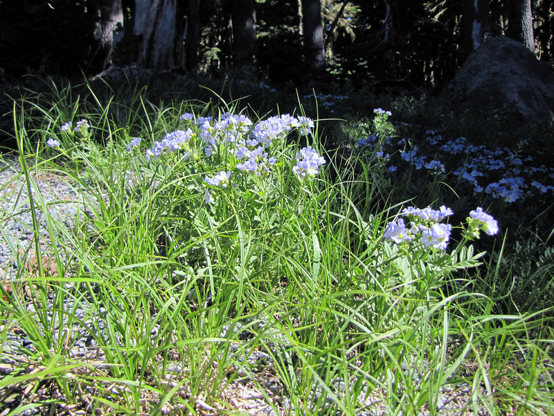 Polemonium californicum (road to Timberline Lodge, from road 26, Mount Hood, Oregon)