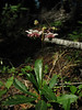 Chimaphila umbellata (Big Tree Trail, Oregon Caves National Monument)(photo Kees Jan)