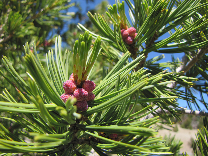 Pinus albicaulis (5 needles), White Bark Pine (White Bark Pine viewpoint, along Caldera Rim road, Crater Lake National Park, Oregon)