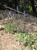 Penstemon euglaucus? (along road to Cloud Cap Campground, Mount Hood)