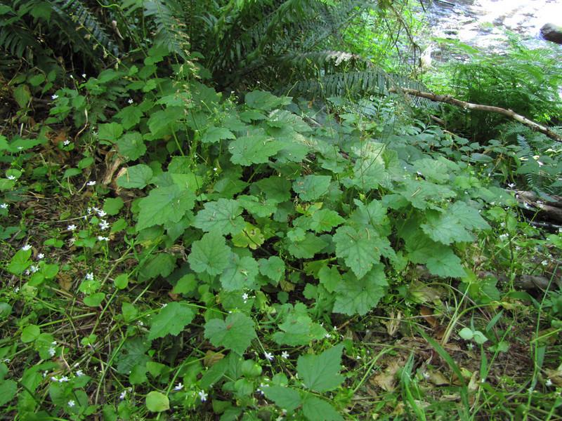 Tolmia menziesii (Near Rhododendron, not far from Mount Hood, Oregon)