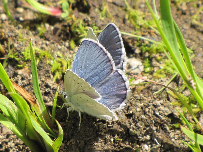Lycaena heteronea, Blue Copper (Trailhead Bigelow Lakes, Oregon Caves National Monument)