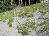 habitat of Calochortus subalpinus (just on road to Timberline Lodge, from road 26, Mount Hood, Oregon)