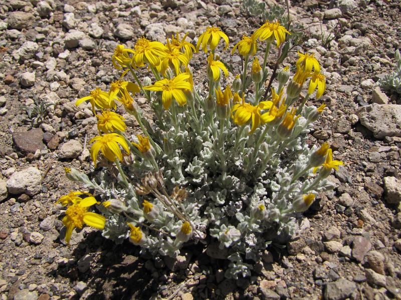 Eriophyllum lanatum? (Along Caldera Rim road, Crater Lake National Park, Oregon)