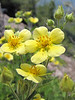 Potentilla glandulosa, Mount Scot 2721m highest point in Crater Lake National Park
