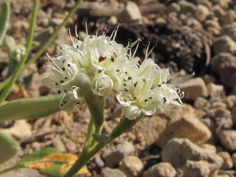 Eriogonum pyrolifolium (Lower slopes of Mount Scot 2721m, Crater Lake National Park, Oregon)
