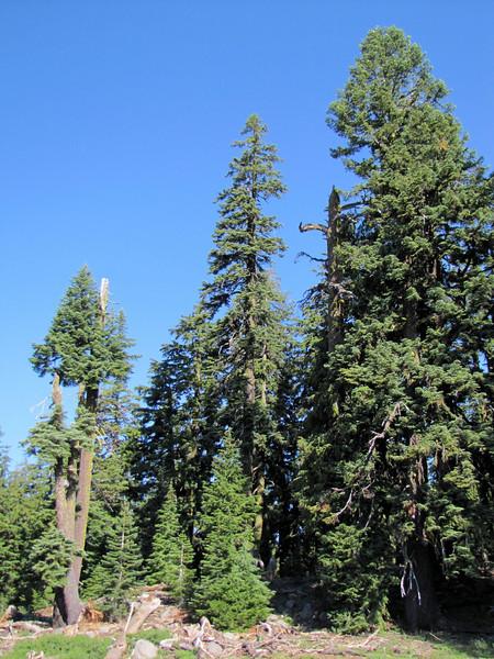 ?? Mammoth Suger Pine near Union Creek (road 62)