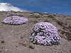 Phlox hoodii (Mountaineer Trail, South-side Mt. Hood 3426m)