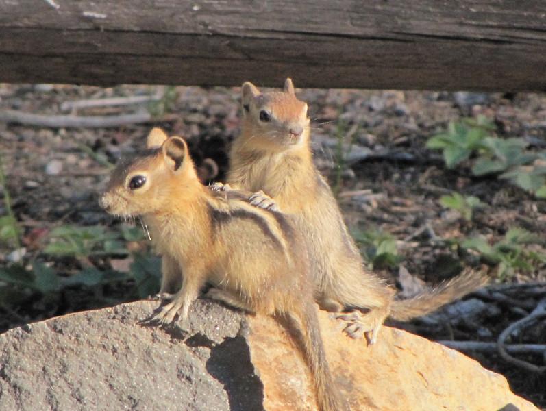 Spermophilus lateralis, juv. Golden-mantled Ground Squirrel, near Lake Lemolo (junc. road 138)