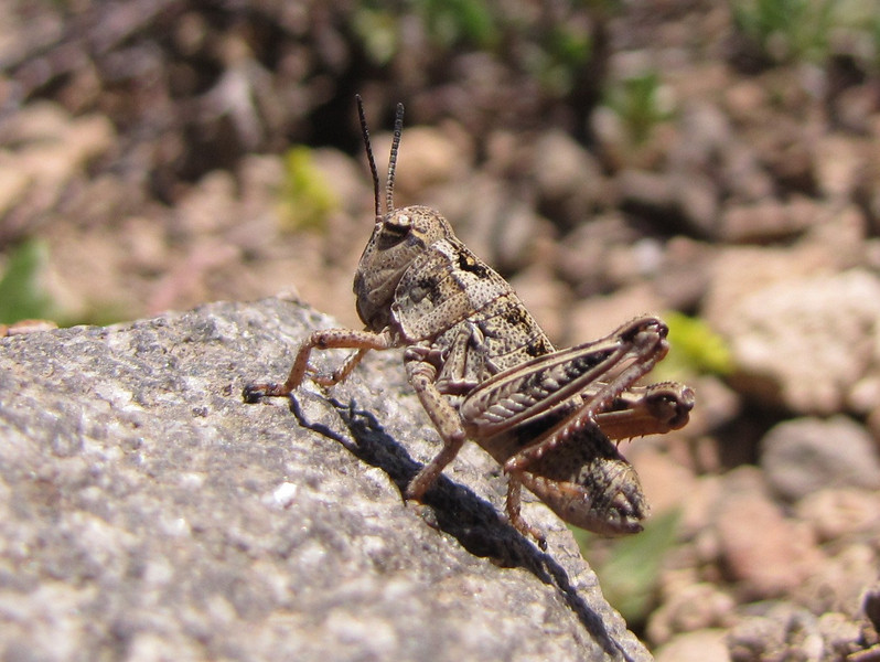 grasshopper spec. , Mount Scot 2721m) highest point in Crater Lake National Park