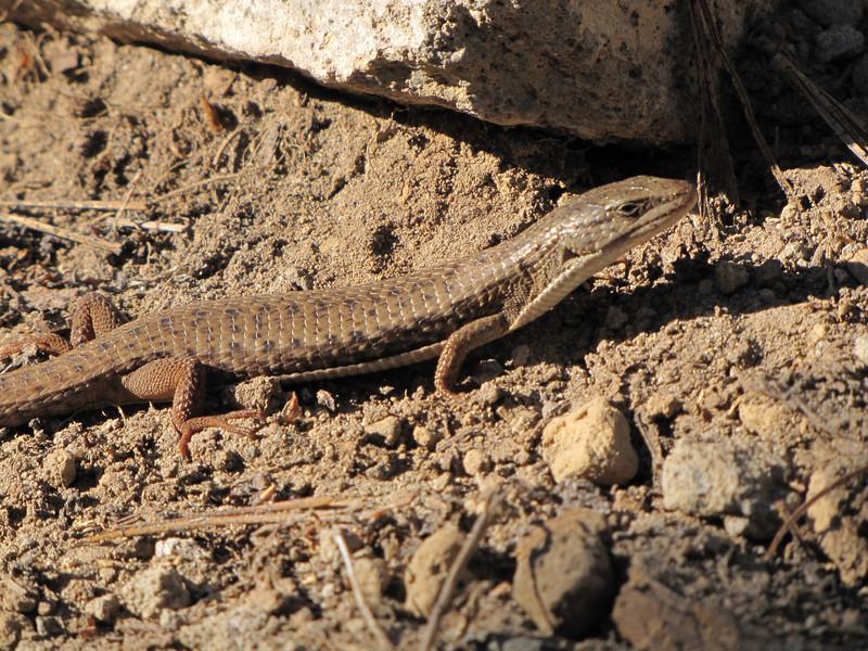 Gerrhonotus coeruleus, Northern Aligator Lizard (NL: hagedis), (Near the Watchman 2442m, Crater Lake National Park, Oregon)