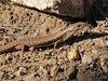 Gerrhonotus coeruleus, Northern Aligator Lizard (NL: hagedis), (Near the Watchman 2442m, Crater Lake National Park, Oregon)