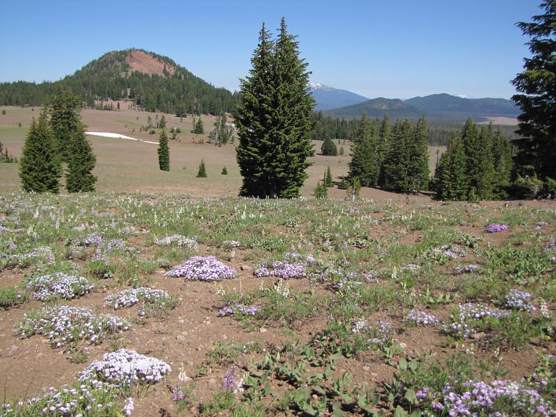 Polygonum newberryi var. newberryi and Phlox diffusa (between North Entrance and Caldera Rim of Crater Lake National Park)