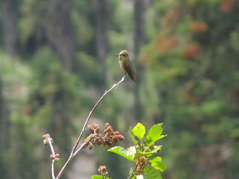 Selasphorus rufus, Rufous Hummingbird (Bigelow Lakes Trail, Oregon Caves National Monument)