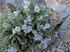 Polemonium pulcherrimum, Mount Scot 2721m) highest point in Crater Lake National Park