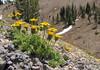 Hulsea nana (Between cloudcap and whitebark pine, Crater Lake National Park, Oregon)