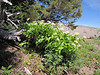 Smilacina racemosa (Mountaineer Trail, Mount Hood, Oregon)