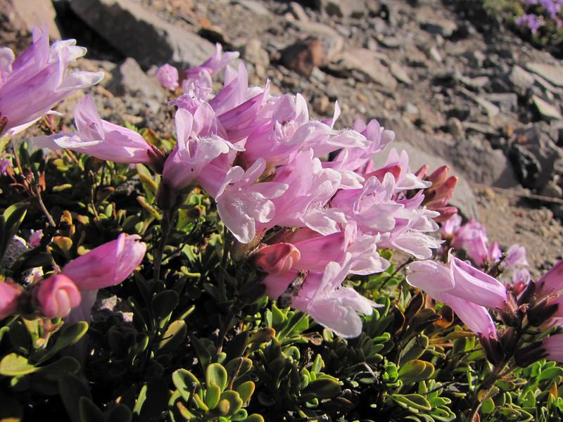 Penstemon davidsonii var. davidsonii (Near the Watchman 2442m, Crater Lake National Park, Oregon)