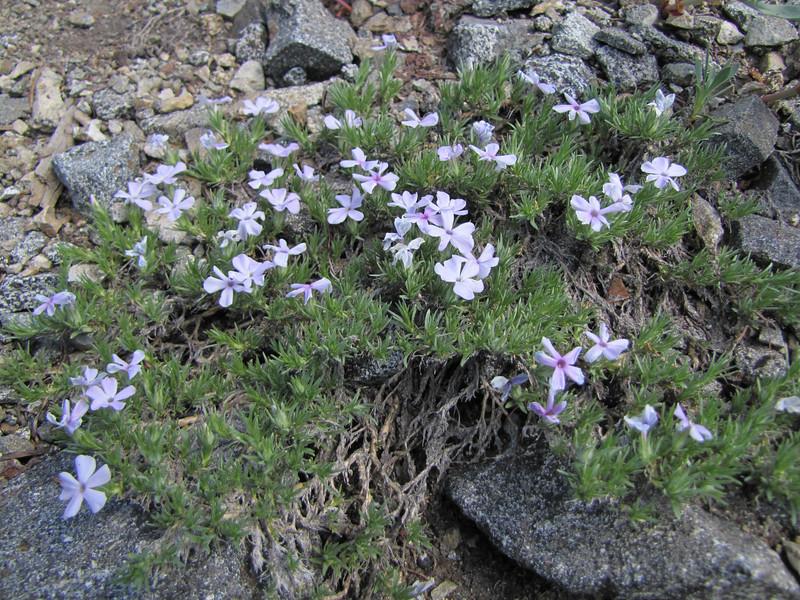 Phlox diffusa, ridge Mount Elijah 1900m (Caves National Monument, Oregon)