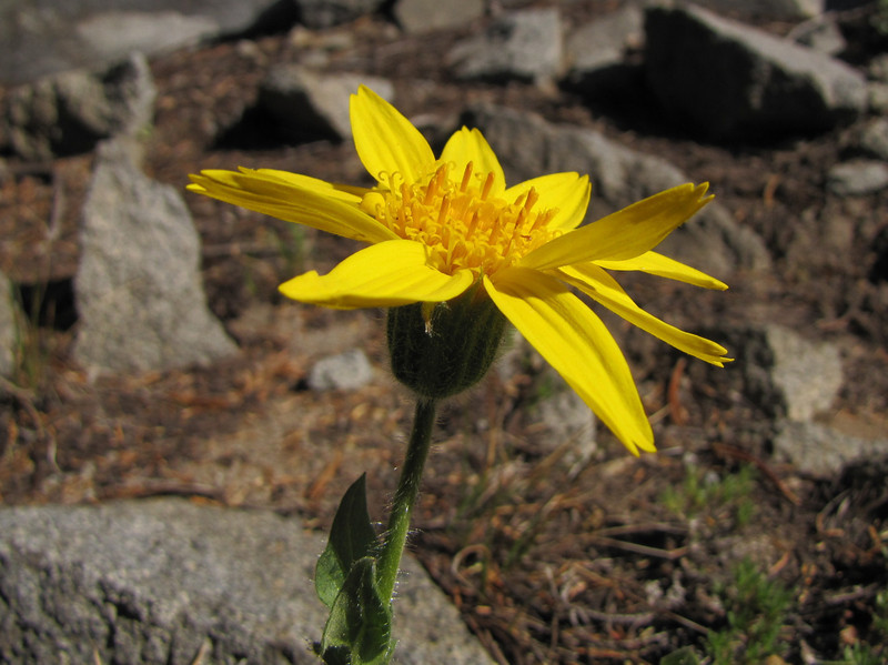 Arnica mollis, Hairy arnica (Near the Watchman 2442m, Crater Lake National Park,Oregon)