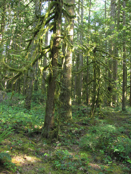 Lichen, Usnea and Alectoria spec in forest near the city Rhododendron, not far from Mount Hood, Oregon