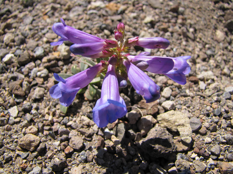 Penstemon spec. (White Bark Pine viewpoint, along Caldera Rim road, Crater Lake National Park, Oregon)