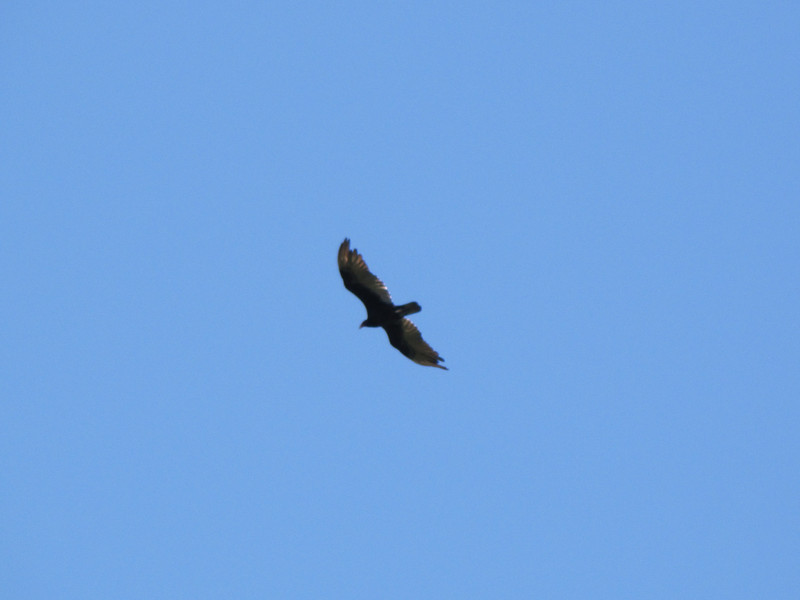 Cathartes aura, Turkey Vulture, Cave Creek Campground near Oregon Caves National Monument