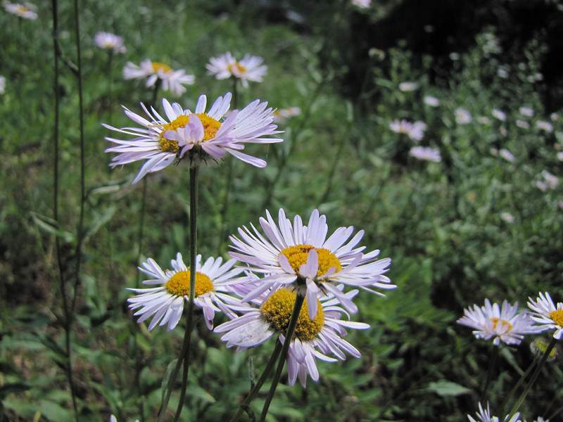 Aster spec. (Big Tree Trail, Oregon Caves National Monument)