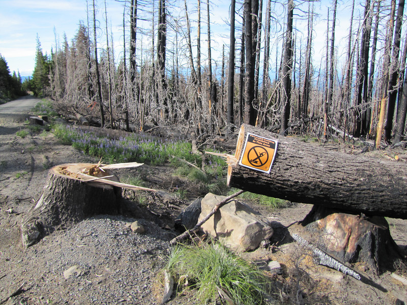 Destroyed forest (along road to Cloud Cap Campground, Mount Hood)