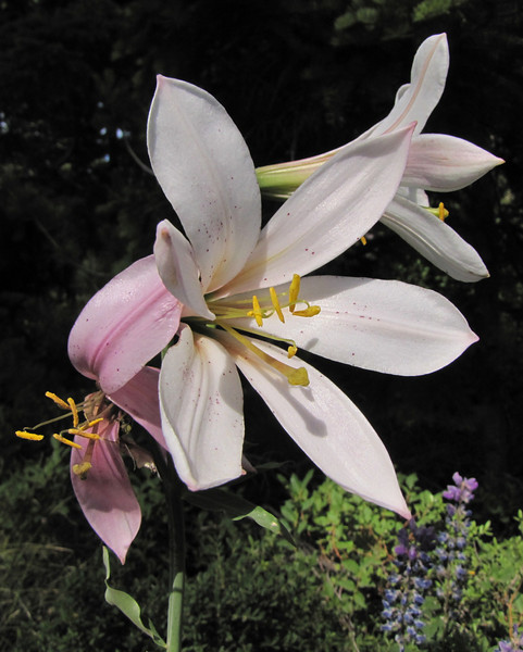 Lilium washingtonianum (along the road to Cloud Cap Campground, Mount Hood)
