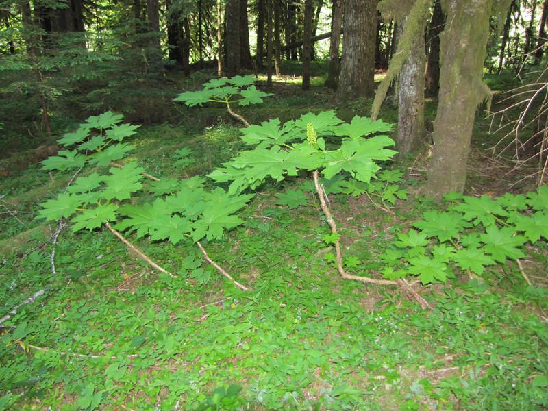 Oplopanax horridus, Lost Creek Campsite (Mt. Hood)