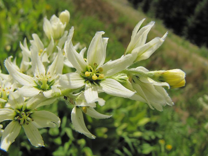 Veratrum californicum (Trailhead Bigelow Lakes, Oregon Caves National Monument)