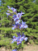Penstemon euglaucus? (along road to Cloud Cap Campground, Mount Hood)