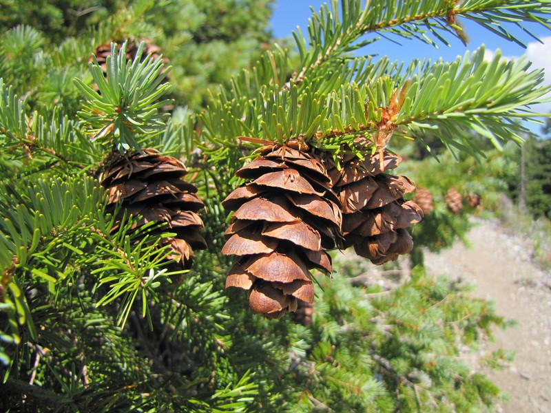 cones of Pseudotsuga menziesii, douglas-fir,  ridge Mount Elijah 1900m (Caves National Monument, Oregon)